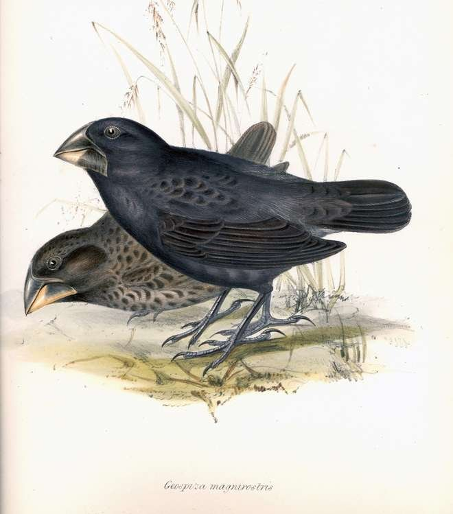 'Darwin's finches' -  The zoology of the voyage of H.M.S. Beagle, under the command of Captain Fitzroy, R.N., during the years 1832 to 1836 ....