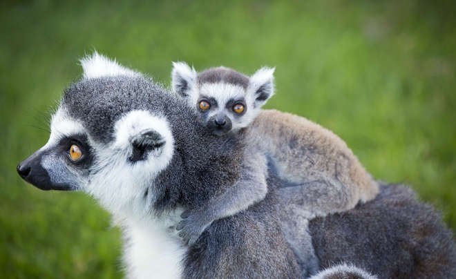 Ring tailed lemurs are exclusive to Madagascar