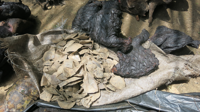 Seizure of pangolin scales and body parts