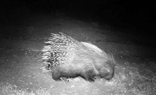 Porcupine spotted on Instant Wild