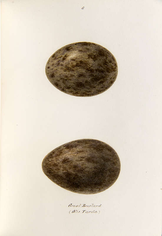 Painting of two great bustard eggs