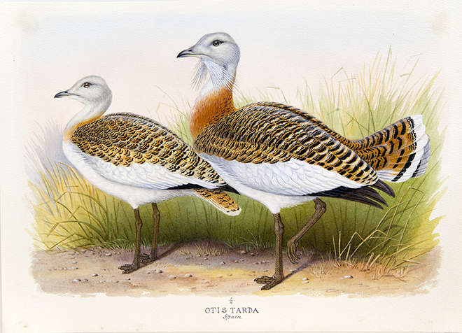Painting of two great bustards
