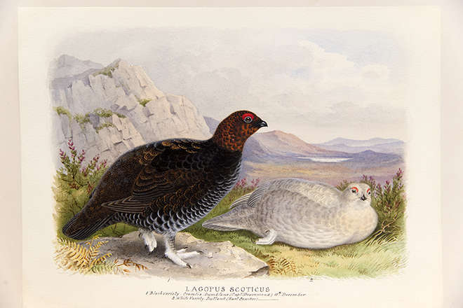 Painting of Lagopus scoticus, red grouse,  black and white varieties with a mountainous background.