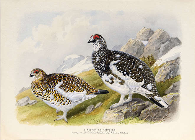 Two common ptarmigan in April plumage in a mountainous landscape
