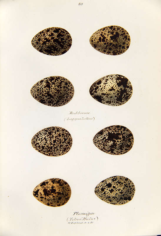 Painting of eggs of red grouse and ptarmigan