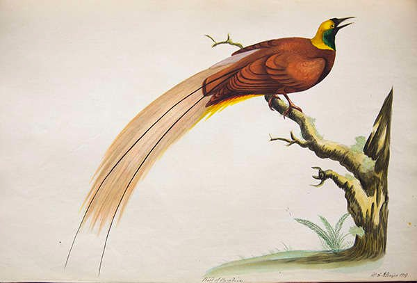 Colour illustration of a bird of paradise