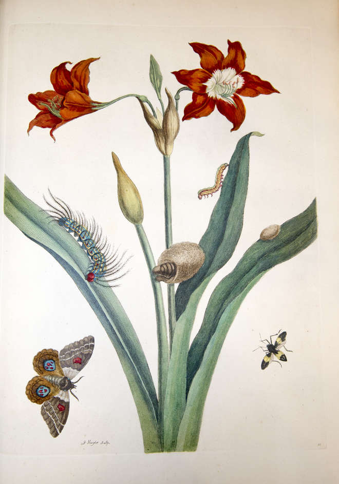 Colourful illustration of a Barbados lily with bullseye moth and leaf-footed bug