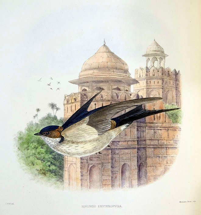 Lithograph of a swallow in flight