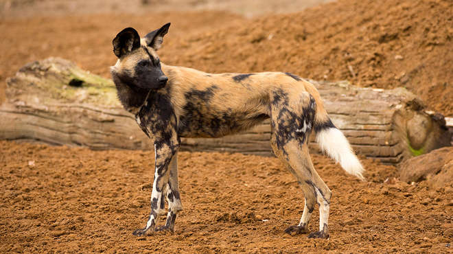 Bee Bee African hunting dog