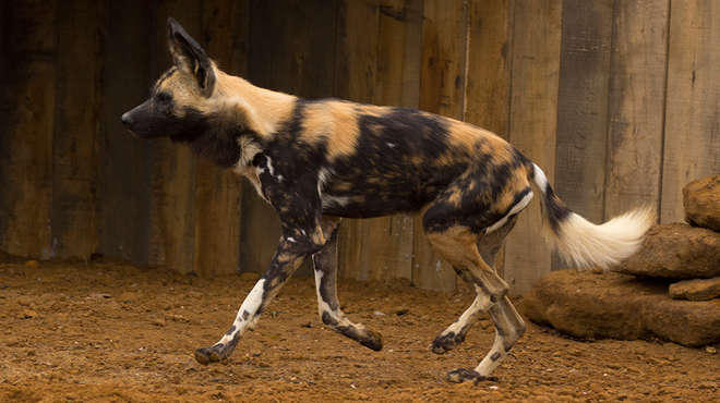 Donnie the African hunting dog