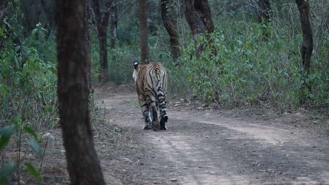 Bengal tiger in Sariska Tiger Reserve in Rajasthan
