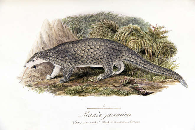 Pangolin drawing, side view