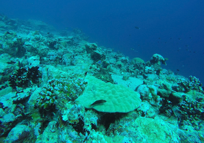 A healthy Porites colony on the reef