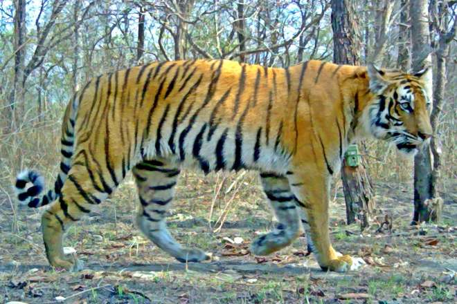 Bengal tiger in Parsa National Park