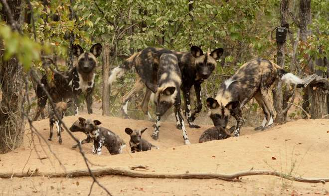 A group of adult wild dogs with pups in a den in Zimbabwe