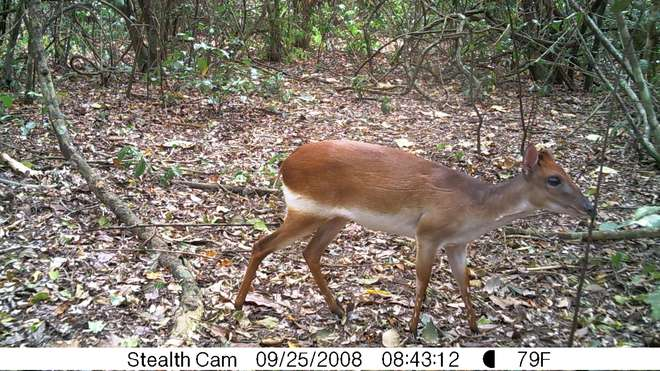 Aders' duiker taken on a camera trap