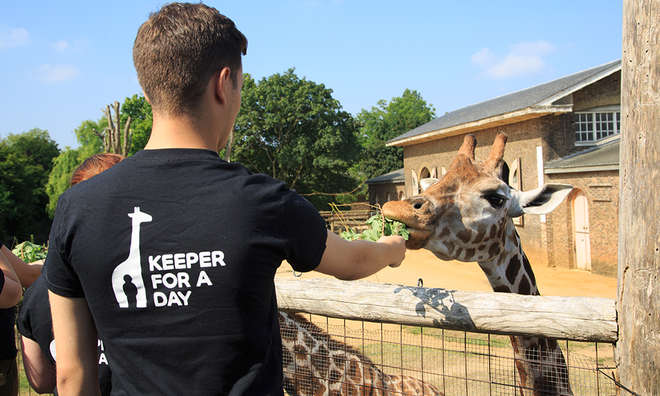 Keeper-for-a-day-feeding-giraffe