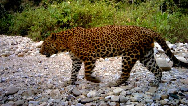 Leopard image taken on a camera trap from Parsa Wildlife Reserve, Nepal