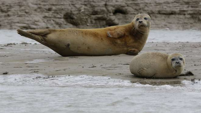 Seals in the Thames