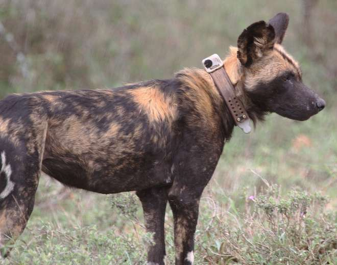 GPS collared African wild dog