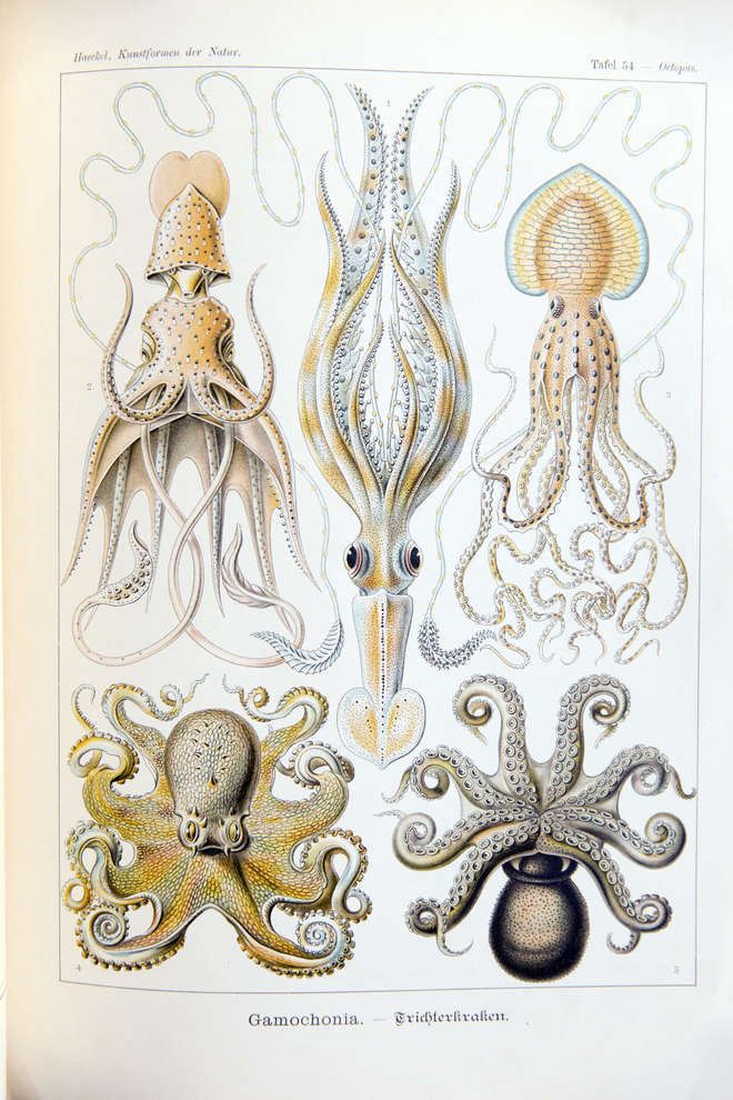 Decorative print of several species of octopus