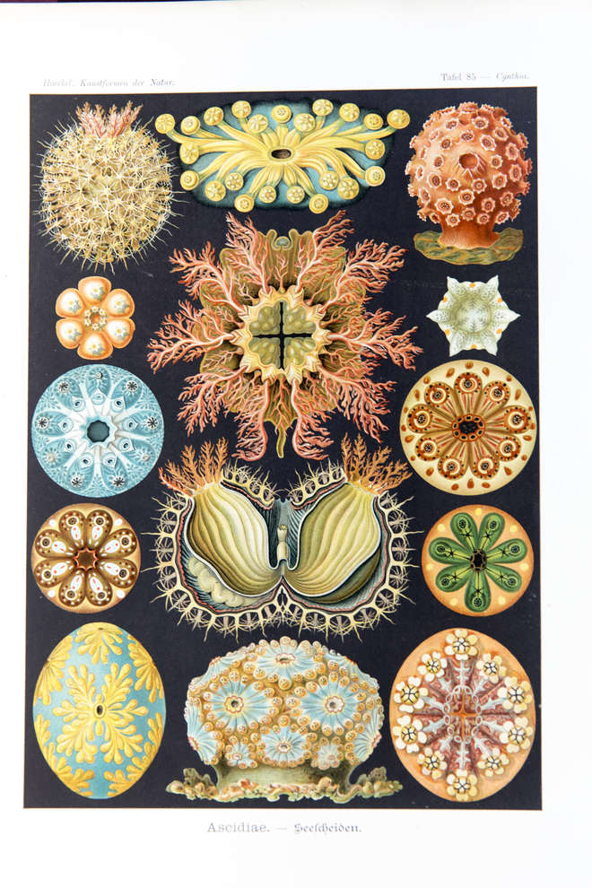 Colourful illustration of diverse froms of tunicates
