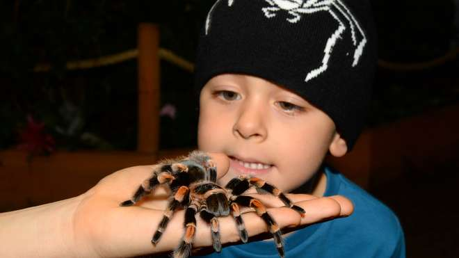 Saul McLean and a Mexican red knee tarantula