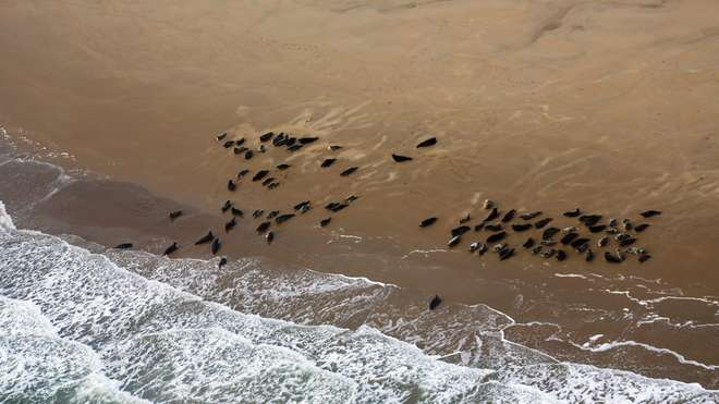 A group of seals seen during our aerial surveys in the Greater Thames estuary
