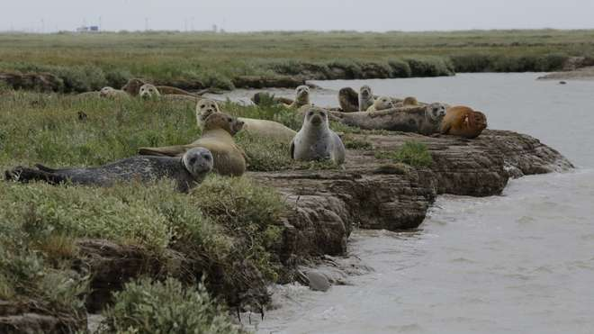 A group of seals seen on the 2017 Thames Seal Survey