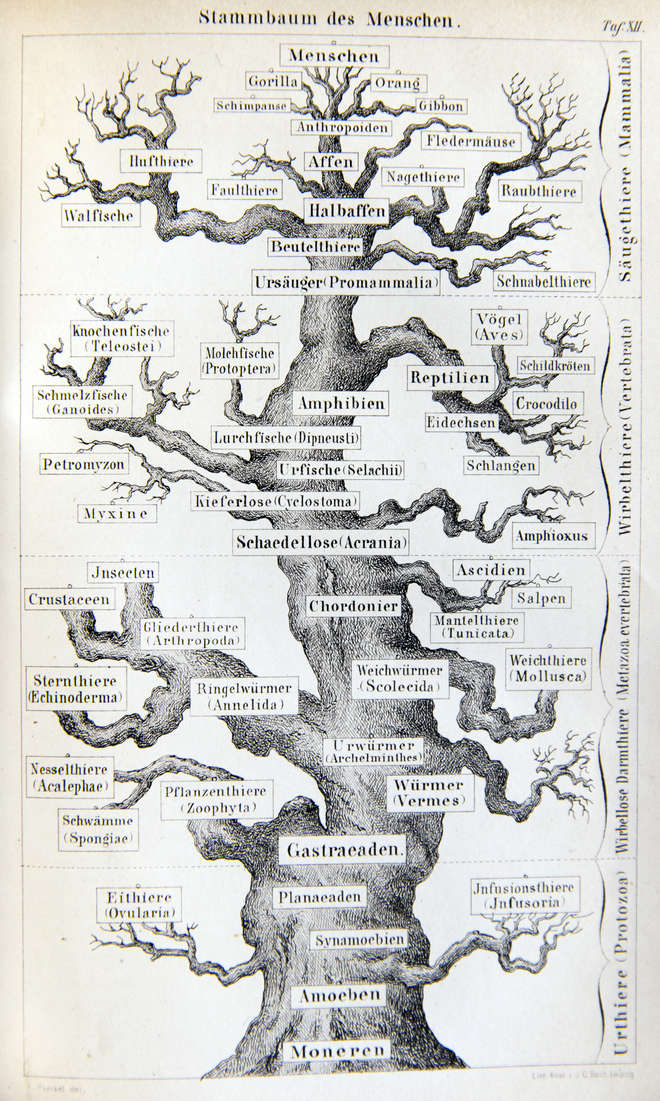 Gnarled `oak' tree of life by Ernst Haeckel