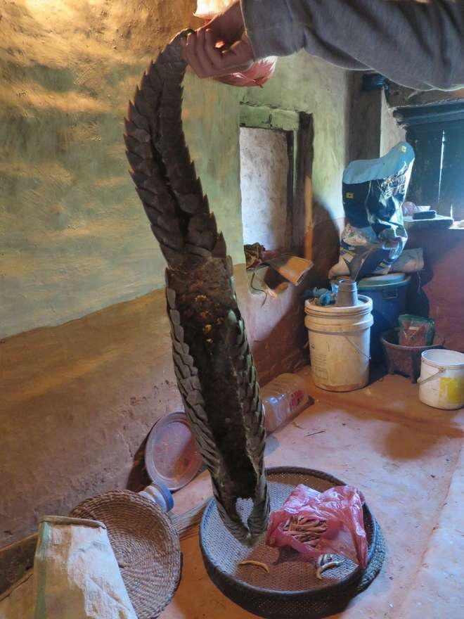 Pangolin carcass in a home in Nepal