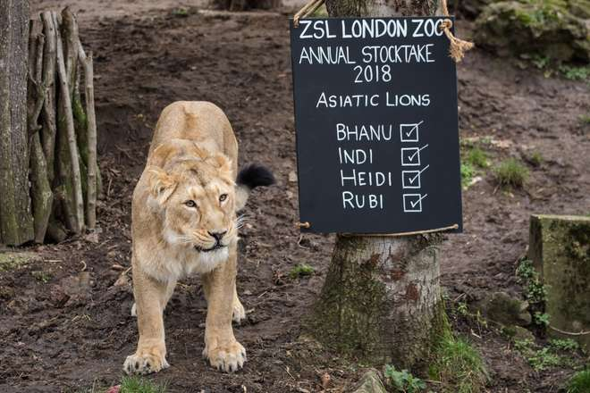 An Asiatic lioness poses for the ZSL London Zoo Annual Stocktake