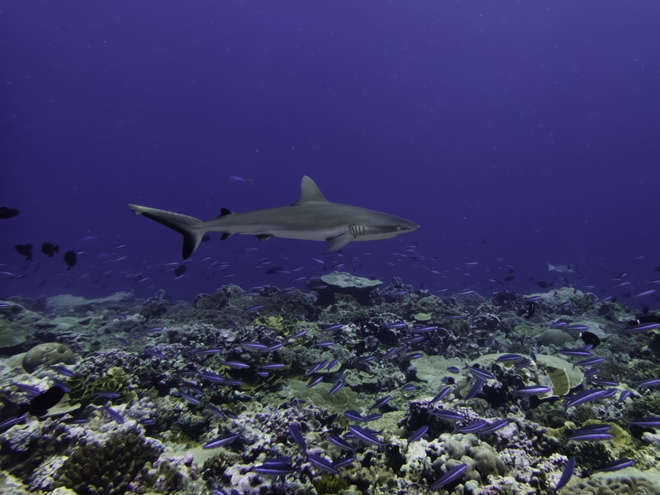 Grey reef shark in Hawaiian coral reefs
