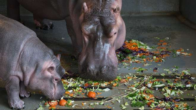 Hippos Lola and Hodor eating their edible bouquet of their favourite foods