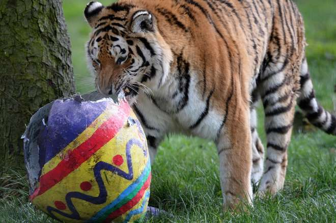 Naya the Amur tiger at ZSL Whipsnade Zoo with her Easter Egg