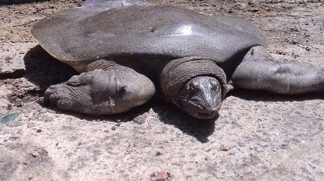 Africa soft shelled turtle