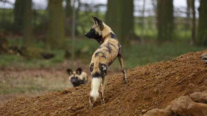 Female African Hunting Dog at ZSL Whipsnade Zoo