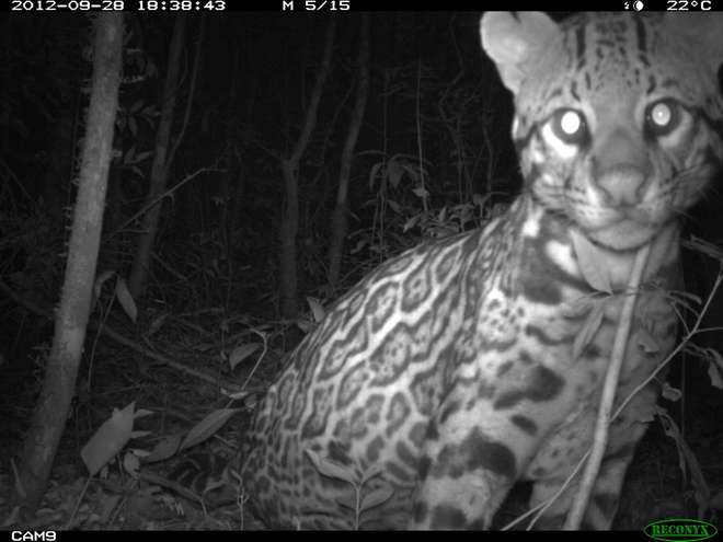 An ocelot photographed by a camera trap in Panama