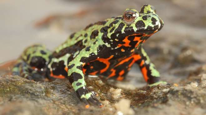 Genetic clues reveal origins of killer fungus behind the 'amphibian plague'