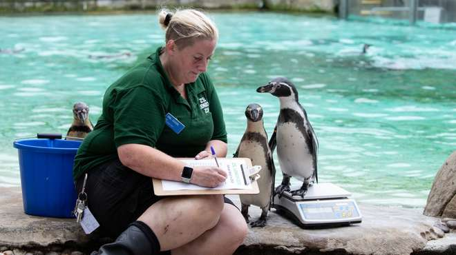 Humboldt penguins at annual weigh in at ZSL London Zoo