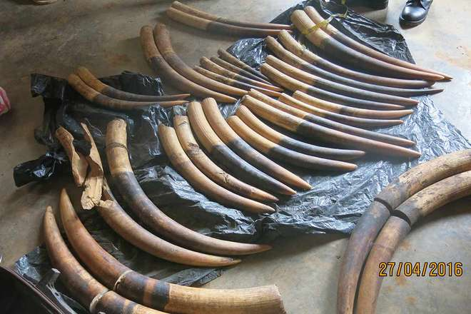 An enormous Ivory Seizure made in Cameroon, 2016