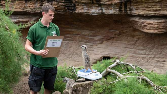 Meerkats at ZSL London Zoo's annual weigh in