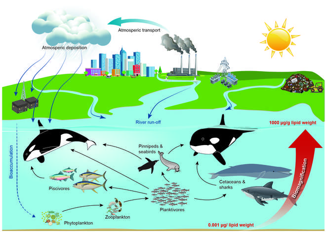 Diagram showing how PCBs accumulate at different levels of the food chain