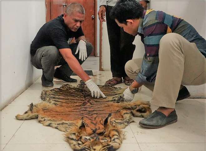 ZSL-Indonesia inspecting a seized Sumatran tiger skin