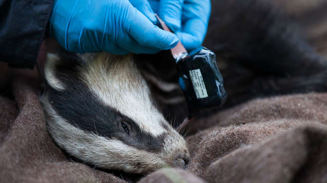 ZSL staff fitting a tracking collar to a badger