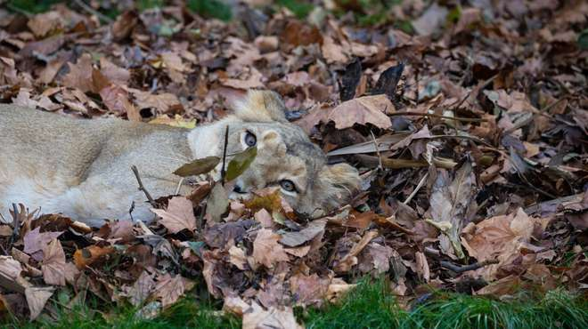 Asiatic lioness in the leaves at ZSL London Zoo