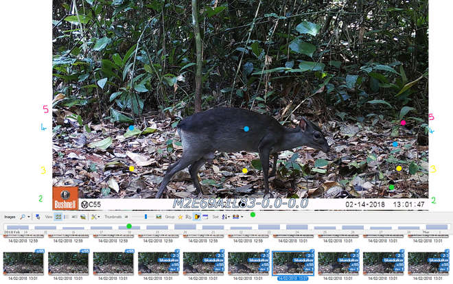 Example of a photo of a blue duiker with distance bands marked in coloured dots and reference lengths written alongside