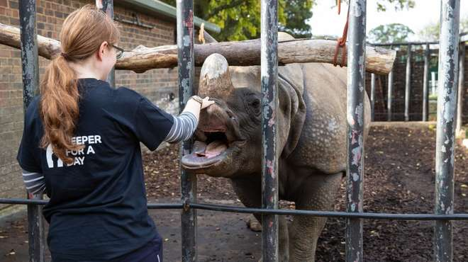 Meeting a rhino in the Keeper for a Day experience at ZSL Whipsnade Zoo