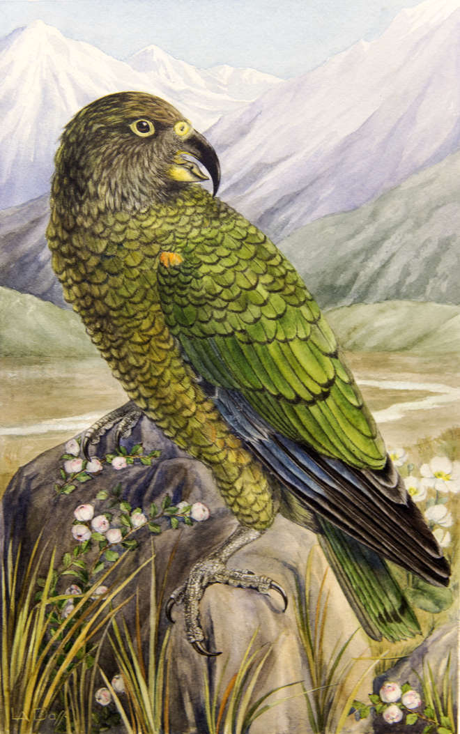 Painting of a kea, an endangered green parrot in a mountainous landscape