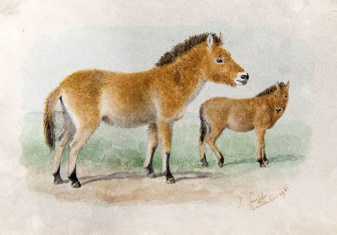 Watercolour painting of an endangered species of horse